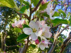 Bellissimi fiori di melo