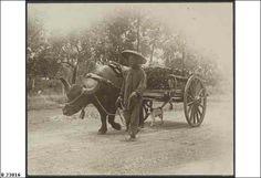 Chinese buffalo cart, Darwin Chinese buffalo cart hauling bamboo in a wagon 1920 Darwin, Old Photos, Buffalo, Vietnam, Cart, Chinese, Australia, Horses, Bamboo