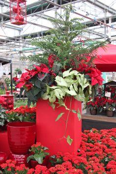 1000 images about poinsettia indoor evergreen arrangements on pinterest christmas - Terras arrangement ...