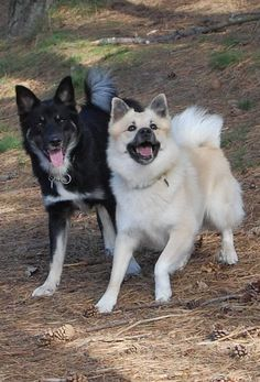 icelandic sheepdog dog | Origins of the Icelandic Sheepdog