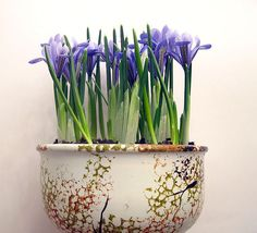 forced bulbs (iris)