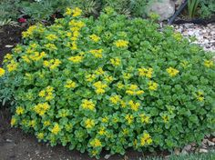 Sedum is not only drought tolerant but it also makes an excellent groundcover. Learn more about How To Establish Groundcover. For more information on this plant go to http://www.bloomingsecrets.com/gardening/fruland-sedum-6-pack