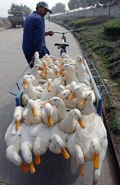 Fowl Overload