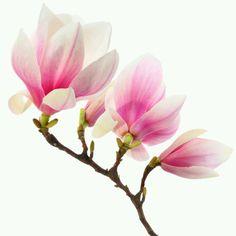 Magnolia Flowers~