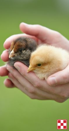 Caring for baby chicks: A step-by-step article.