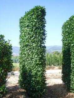Carpinus betulus espalliered screens