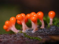 Slime Mold - is a broad term describing fungi-like organisms that use spores to reproduce, numbering about species. Many of them are incredibly beautiful! Flora, Slime Mould, Plant Fungus, Mushroom Fungi, Botany, Amazing Nature, Mother Nature, Stuffed Mushrooms, Wild Mushrooms