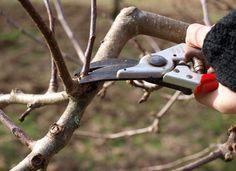better production, prettier blossoms and a longer life for your fruit trees? Learn how to prune them with our beginner's guide to pruning fruit trees!Want better production, prettier blossoms and a longer life for your fruit trees? Learn how to prune them