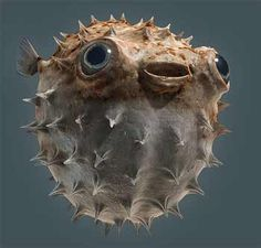 I had a fresh water puffer just like this he was awesome