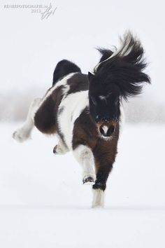 The cutest little pony ever bucking and running in the snow! He is adorable! Look at that fuzzy little nose! Black and white pony.