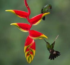Las heliconias son las plantas tropicales por excelencia: Heliconia con colibríes