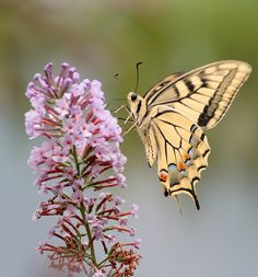 Tiger Swallowtail Butterfly on lilac flower.