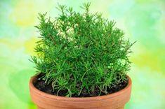 Olivenkraut – Tipps vom Anbau bis zur Ernte
