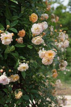 Hybrid Multiflora Rambling Rose: Rosa 'Ghislaine de Féligonde' (Denmark, 1960)