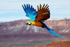 Parrots flying are so majestic Parrot Pet, Parrot Toys, Exotic Birds, Colorful Birds, Ara Bleu, Parrot Flying, Parrot Drawing, Animals And Pets, Cute Animals