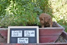 "Lulu""s July 5 2018 red mini f1b golden doodle puppies. Ready for homes early September 2018. visit website for availability and pricing"