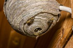 Wasps find protected dry wood a good place to nest, but they can be deterred with household cleaner sprays. This page is about how to prevent wasps from building a nest. Diy Home Cleaning, Household Cleaning Tips, Household Cleaners, House Cleaning Tips, Toilet Cleaning, Diy Cleaning Products, Cleaning Hacks, Clean Tv Screen, Wd 40 Uses