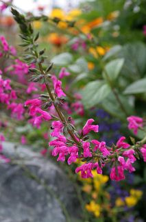 """Salvia chiapensis """"Chiapas Sage""""  (Adored by hummingbirds) From Chiapas, Mexico comes this lovely bright pink (fuchsia) flowering Salvia. The flowers are super-cute with fuzzy heads & eye-catching color. Salvia chiapensis has glossy green leaves, grows to about 3' x 3' & blooms in Fall through Winter.  It's not exactly drought tolerant like most salvias, but does best with regular water. Cut back hard in spring for fresh growth. Sun-part sun  Average water"""