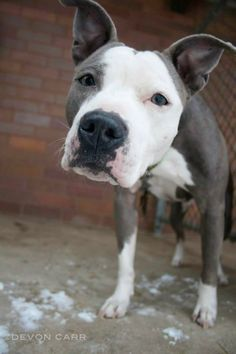 ADOPT OR SPONSOR GRAYSON! MAHONING ADOPTION CENTER Youngstown, OHIO...Available on: 12/20Contact: fofmcdp@gmail.comGrayson (ID# 1131) is a beautiful gray and white female pittie found as a stray. She will be available for adoption on December 20.All dogs are spayed/neutered before you bring them home. $80 to the vet...