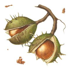 Trickey, Nature in Waiting - Conkers Lion Painting, Fruit Painting, Painting & Drawing, Watercolor Paintings, Watercolours, Botanical Drawings, Botanical Illustration, Botanical Prints, Nature Sketch