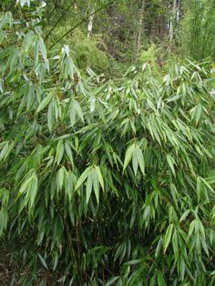 Non invasive clumping bamboo for Oregon