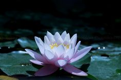 Wall decor fine art photography of a pink waterlily by PhotoIdea