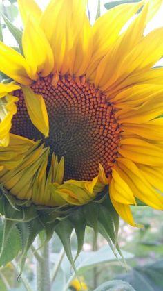 My sunny sunflowers Blooming Sunflower, Sunflowers, Sunnies, Plants, Sunglasses, Flora, Shades, Plant, Sunflower Seeds