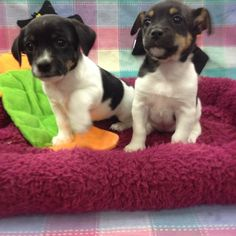 Rat Terrier / Jack Russell Mix.Fish and Pets Pet Shop. Hendersonvillepetshop.com