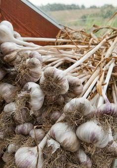 Istuta valkosipulin kynnet keväällä ja kasvata mahtava sato. Katso ohjeet vaihe vaiheelta! | Viherpiha