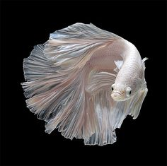 Portraits of Siamese Fighting Fish by Thai photographer Visarute Angkatavanich
