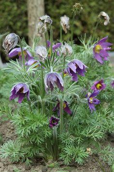 Purple Garden, My Flower, Garden Plants, Gardening Tips, Planting Flowers, Garden Design, Green, Holidays, Travel
