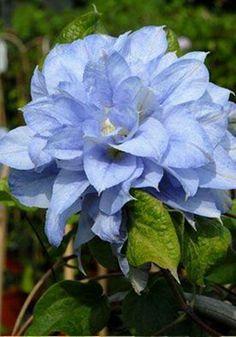 Clematis 'Mazury More' Exotic Flowers, Amazing Flowers, Beautiful Flowers, Purple Flowers, Clematis Vine, Blue Clematis, Climbing Vines, Blue Garden, Flowering Vines
