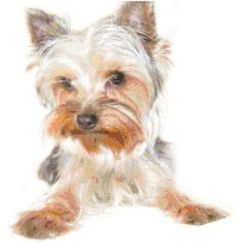 Learn all about the lovely Yorkshire Terrier at The Dog Word, where we are all dog, all day. Silky Terrier, Yorkshire Terrier Puppies, Dogs For Sale, Dog Paintings, Dog Art, Dog Breeds, Terrier Breeds, Cute Dogs, Yorkies