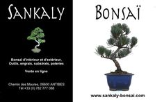Bonsai Pinus Pentaphylla 29 cm importation Japon 2014 disponible chez www.sankaly-bonsai.com  http://www.sankaly-bonsai.com/achat-vente-acheter-bonsai-exterieur-feuillus-sankaly-bonsai/3125-achat-bonsai-pinus-pentaphylla-pin-blanc-du-japon-29-cm-ppjp140901-sankaly-bonsai.html