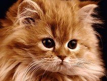 Someone get me a cute little orange tiger long haired kitten just like this one!