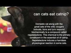 Can cats eat catnip?   Catnip safe