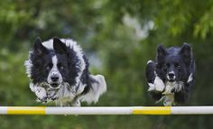 Hi! Im Hannah and I do dog Agility with my 5 dogs! These are my first two dogs, Lucy and Harper border collie dogs. Lucy is 6 and Harper is 2. There record is 3'7 !
