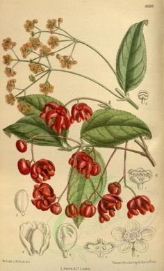 flowers-09643 - 8639-euonymus oxyphyllus [2131x3514] qulity naturalist ornaments transfer 1700s commercial royalty Artscult flower blooming free craft ArtsCult masterpiece  botanical natural wall art collage botany century printable illustration engravings supplies pre-1923 old download clipart Pictorial floral picture nice collection pages 18th flora paintings Graphic ArtsCult.com Edwardian 1900s decoration nature flowers high instant 300 dpi fabric scan pack 17th lithographs domain…