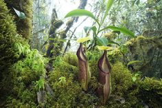 Nepenthes singgalana