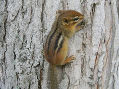 Cute Chipmunk! <3 Love it when I see them with their cheeks full of sunflower seeds from the bird feeder.