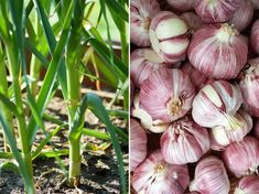 A fokhagyma mint ideális társ: ezek mellé a növények mellé ültesd! | Hobbikert Magazin Allium, Aloe Vera, Garlic, Home And Garden, Mint, Vegetables, Plants, Gardening, Bees