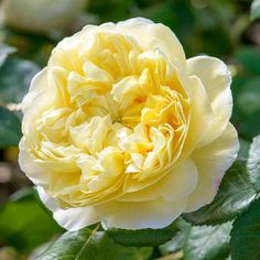 Buy Charles Darwin from David Austin with a 5 year guarantee and expert aftercare. Charles Darwin, Fragrant Roses, Shrub Roses, Deadheading Roses, Mixed Border, Rose Delivery, Rose Care, Heirloom Roses, Rose Trees