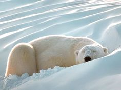 Polar-bear-sleeping