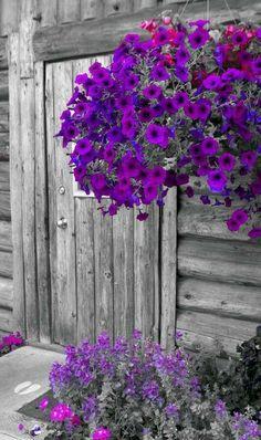 Petunias -- so colorful and easy to growSidewalk border. Petunias -- so colorful and easy to grow Purple Flowers, Beautiful Flowers, Fresh Flowers, Purple Petunias, Pot Jardin, All Things Purple, Hanging Baskets, Hanging Planters, Shades Of Purple