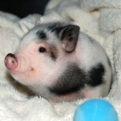 Widdle piggy!