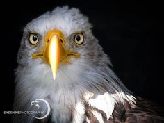 Sunlight | Bald Eagle . The sun felt directly on the beak wich gave an interesting point of view on this beauty. #baldeagle #eagle #birdsofprey