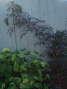 Elderberry Black Lace (Sambucus nigra 'Eva') and Incrediball Hydrangea September 2012 Sambucus Nigra Black Lace, Incrediball Hydrangea, September 8, Planting Flowers, Plants, Gardens, Plant, Planets