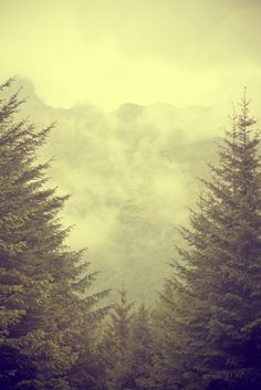 Morning fog in the pine forest ~
