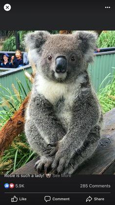 Cute Little Animals, Cute Funny Animals, Nature Animals, Animals And Pets, Beautiful Creatures, Animals Beautiful, Bear Totem, Koala Bears, Australia Animals