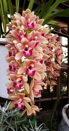 EvimCicek: Cymbidium orchids Fauna and Flora are two terms frequently heard by people who spend time in nature. All Flowers, Flowers Nature, Exotic Flowers, Tropical Flowers, Amazing Flowers, Beautiful Flowers, Orchid Flowers, Orchids Garden, Orchid Plants